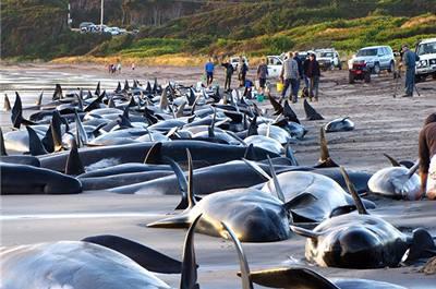 Stovky velryb a delfínů uvízly na pláži